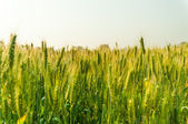 Green barley in farm with nature light  — Stock Photo