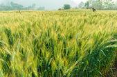 Orzo verde in fattoria con luce naturale — Foto Stock