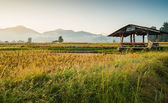 Hut in rice field — Stock Photo