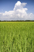 Rice fields Thailand — Stock Photo