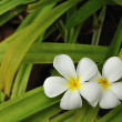 Plumeria flowers green feel good — Stock Photo