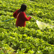 Stock Photo: Strawberry cultivation