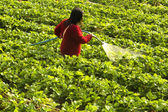 Strawberry cultivation — Stock Photo