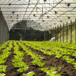 Stock Photo: Vegetable cultivation