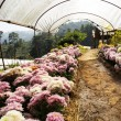 Stock Photo: Chrysanthemum cultivation