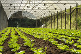 Vegetable cultivation — Stock Photo