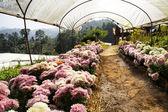 Chrysanthemum cultivation — 图库照片