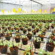 Stock Photo: Tomato cultivation : cultured seedlings