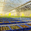 Stock fotografie: Tomato cultivation : cultured seedlings