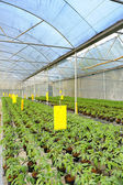Tomato cultivation : cultured seedlings — Stock Photo