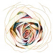 Rose : colors-pencil sketchbook — 图库照片 #40686931