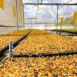 Stock Photo: Tomato cultivation : seed room