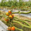 Stock Photo: Tomato cultivation