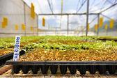 Pěstování rajčat: osivo místnost — Stock fotografie