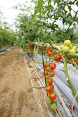 Tomato cultivation — Stock Photo
