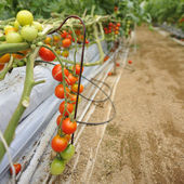 Tomato cultivation — Stockfoto