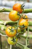 Tomato cultivation — Stock Photo