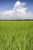 Rice fields Thailand — Stock Photo