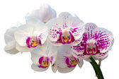 Beautiful orchid flower — Stock Photo