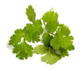 Fresh coriander leaves — Stock Photo