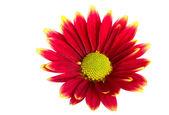 Gerber kwiat — Zdjęcie stockowe