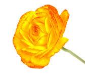 Beautiful single yellow flower — Stock Photo