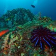 A Crown-of-thorns seastar (Acanthaster planci) feeds on live cor - Foto Stock