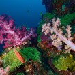 Soft coral colony , Similan island Thailand - Photo