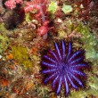 A Crown-of-thorns seastar (Acanthaster planci) feeds on live cor - Stok fotoğraf