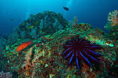 A Crown-of-thorns seastar (Acanthaster planci) feeds on live cor — Stock Photo