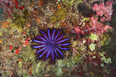 Crown-of-thorns starfish (Acanthaster planci)nocturnal sea star coral polyps — Stock Photo