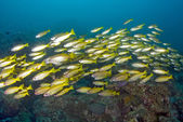 School of yellow back Fusiliers swimming over the reef — Stock Photo