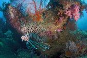 крылатка семьи scorpaenidae, парящей над мягкий коралл — Стоковое фото