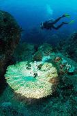 Bleiche korallen mit taucher — Stockfoto