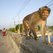 Monkeys on the road, Thailand. - Stock Photo