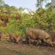 Stock Photo: Wild pig in abandon village