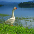 Goose on a meadow,Thailand - Stock Photo
