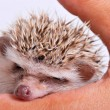 Hedgehog isolate on white background — Stock Photo