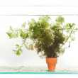 Green Aquarium Plant (Hydrilla) — Stock Photo