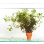 Green Aquarium Plant (Hydrilla) — Stock Photo