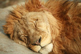 Sleeping Lion — Stock Photo
