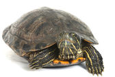 Red-eared turtle isolated on white background. — Stock Photo