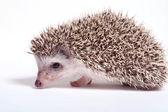 Hedgehog isolate on white background — Stock Photo