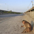 Wild monkeys on the road  — Stock Photo