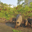 Stock Photo: Wild pig family in abandon village