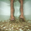 Fish spa feet pedicure skin care treatment with the fish rufa garra, also called doctor fish, nibble fish and kangal fish. — Stock Photo