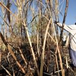 Worker harvest sugar cane, thailand — Stock Photo #25374271