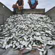 Mackerels fish arranges in the truck — Stock Photo