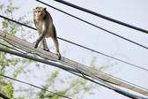 Monkey hanging on electric wires — Stock Photo