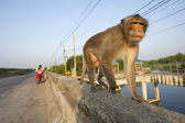 Monkeys on the road, Thailand. — Stock Photo
